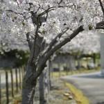 構内の桜も満開です!